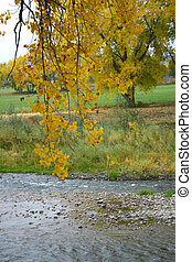 Cottonwoods - Golden cottonwood leaves hang over the...