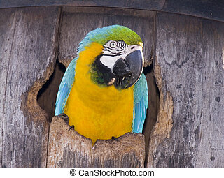 Blue and Gold in Barrel - A blue and gold macaw poking its...