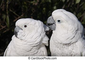 Two Umbrella Cockatoos - A pair of umbrella cockatoo