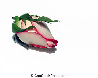 Rosebud - White rosebud with pink edges on white with shadow