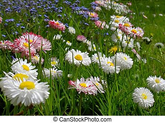 flowers - daisy flowers