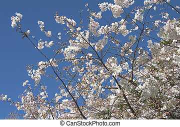 Cherry Tree Blossoms - A cherry tree in spring blossom.