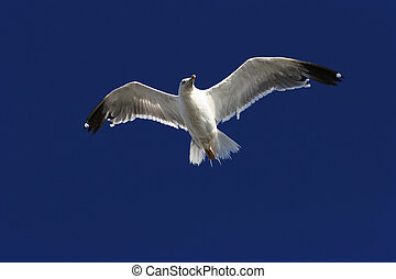 flying bird - flying gull