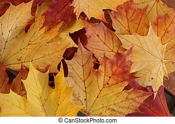 Autumn leaves - Maple leaves symbol for autumn