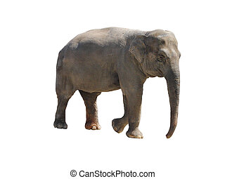 Elephant isolated over white background
