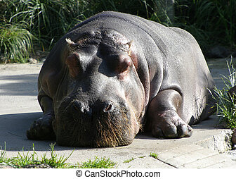 Hippo Relaxing - A giant hippo takes a break from gravity.