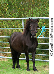 Shetland Pony - A Sheltalnd pony standing in a field and...