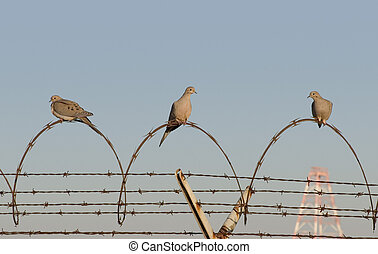 Jail Birds - Three morning doves perch on a coiled stretch...