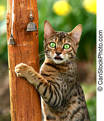 Madness - A Bengali special breed kitten climbing a pole...