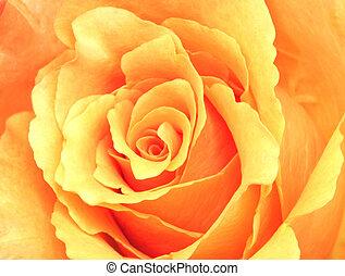 Peach Rose - Close up of a peach coloured rose.