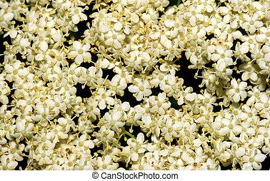 Elderflowers. - A close up of elderflower flowers.