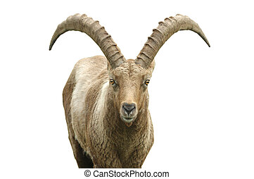 Ram - Clipping Path - Family Bovidae Genus Capra