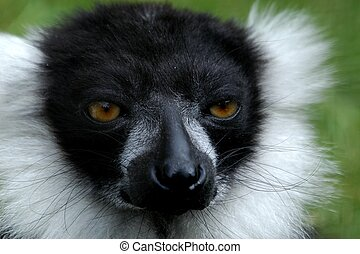 Lemur - Black and White Ruffed Lemur