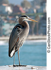 Great Blue Heron Ardea herodias, on wharf in California