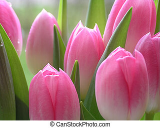 pink tulips - Lots of pink tulips