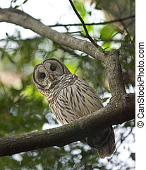 Barred Owl - A Barred Owl looking down and watching as I...