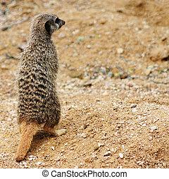 Meerkat - An alert meerkat standing on his back legs.