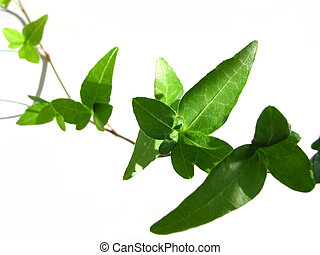 Ivy on white background 4 - Closeup on green ivy isolated on...