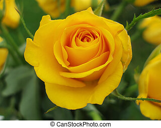 yellow rose - Close-up of yellow rose with green leaves in...