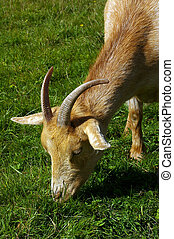 Goat 11 - A farm goat grazing in a field