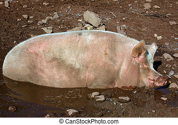 Pig in Mud Hollow 01 - A farm pig asleep in a mud hollow in...
