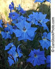 Flowers - Lechenaultia laricina Lindl - Lechenaultia...