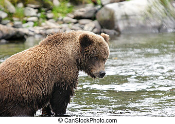 Young grizzly bear in its fishing spot - Young grizzly bear...