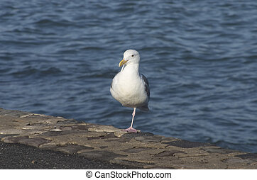 Seagull - A seagull takes a break on a seawall at the waters...