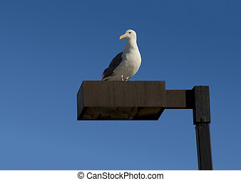 Seagull on a Lamppost - A placid seagull stands on a...