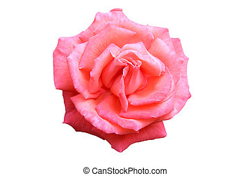 Perfect isolated rose - Rose isolated
