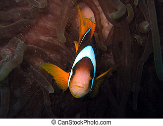 Nemo is found - Clownfish in its anemone house