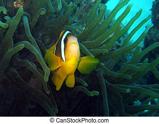 Nemo is found 2 - Clownfish in its anemone house