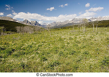 Wildflowers, Glacier National Park - Photo of wildflowers at...