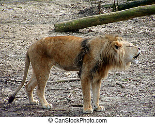 Lion Barking - Lion barking for female
