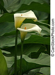 Two Arum Lilies - Two White Arum Lillies in a Decorative...