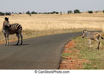 Zebras crossing a road - Zebra mother protecting her baby...
