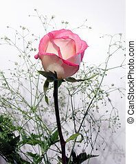 White Rose, trimmed in pink with baby\'s breath (out of...