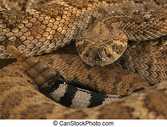 Diamondback, rattle - Diamondback head and rattle