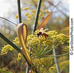 bee on fennel - honeybee on fennel