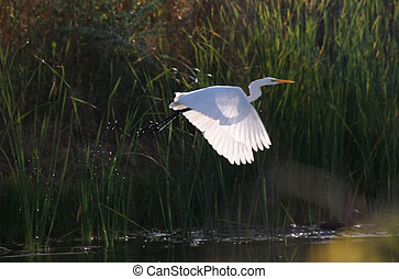 Egret flying - Great Egret in flight
