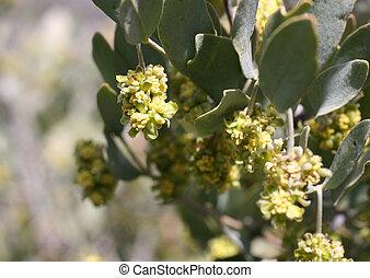 Jojoba plant blossom