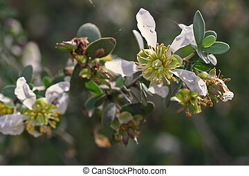 Jojoba plant with blossoms - close