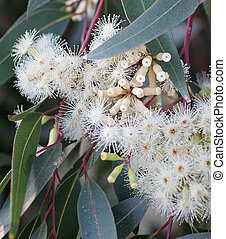 Red gum - red gum in bloom