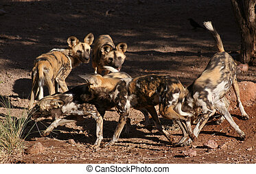 The Pack - Pack of African Wild Dogs