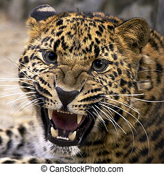 Leopard closeup - Portrait of a Jaguar