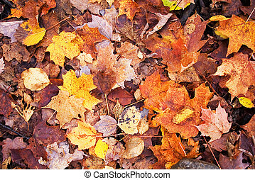 Autumn leaves - A lot of autumn leaves