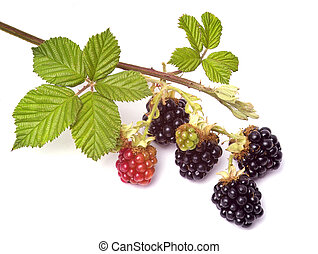 blackberries - bunch of blackberries