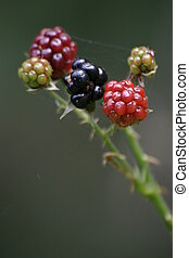 Blackberries - Bunch of ripening blackberries on the bush