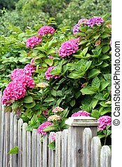 Pink hydrangea at a fence