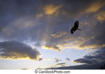 Black kite and cloud - Sunset colour and a bird in the sky